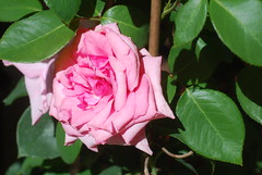 O Gottes Sohn, Herr Jesu Christ (amras_de) Tags: rose rosen ruža rosa ruže rozo roos arrosa ruusut rós rózsa rože rozes rozen roser róza trandafir vrtnica rossläktet gül blüte blume flor cvijet kvet blomst flower floro õis lore kukka fleur bláth virág blóm fiore flos žiedas zieds bloem blome kwiat floare ciuri flouer cvet blomma çiçek