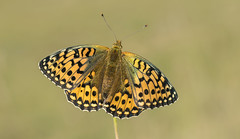 Dark Green Fritillary (Argynnis aglaja). (Bob Eade) Tags: darkgreenfritillary butterflies butterfly lepidoptera wilmington wildlife macro female morning downland southdownsnationalpark sussex eastsussex nature nikon grassland fritillary bokeh bobeade insect summer argynnisaglaja