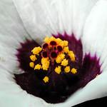 Wild small Hibiscus - Hibiscus sauvage thumbnail