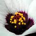 Wild small Hibiscus - Hibiscus sauvage petit