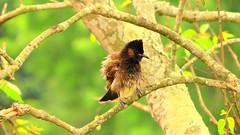 Red Vented Bulbul  Photo Taken : tarakandi, Jamalpur, Bangladesh (pearlya) Tags: tree forest wood bird macro wildlifephotography birdphotography pearlyaphotography bangladesh jamalpur tarakandi bulbul redvendent bulbuli nikon coolpix p530