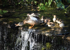 """""""Come on kids.. you can do this""""! (Nina_Ali) Tags: duck ducklings waterfall nature leicester nina ali ninaali yourbestshot2018"""