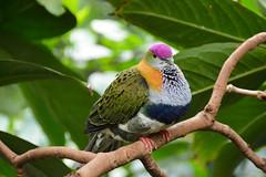 Superb Fruit Dove (Ptilinopus superbus) (Seventh Heaven Photography) Tags: superb fruit dove ptilinopus superbus ptilinopussuperbus bird aves chester zoo cheshire purplecrowned pigeon