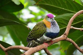 Superb Fruit Dove (Ptilinopus superbus)