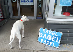 Dog very interested by bagels (Fred:) Tags: bagel eastcoastbakery bagels halifax novascotia east coast bakery dogs dog friendly food bread boulangerie baker westend quinpool chien chiens display window hungry funny store shop local business vitrine fenêtre fenêtres windows animals