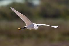 On a Mission (CJH Natural) Tags: littleegret seidenreiher egrettagarzetta bif fly flight wild nature egret bird avian beauty