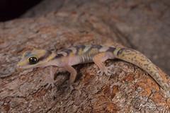 Northern Velvet Gecko (R. Francis) Tags: northernvelvetgecko oeduracastelnaui laura quinkin jowalbinna sandstone laurariver capeyork capeyorkpeninsula ryanfrancis ryanfrancisphotography qld queensland northqueensland