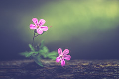 Magic garden (Ro Cafe) Tags: extensiontubes geranium helios58mmf2 selectivefocus blur closeup flowers garden neature pink flora green wood outdoors nikond600