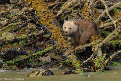 Grizzly Bear Cub (Ursus arctos horribilis) - Knight Inlet (bcbirdergirl) Tags: grizzlybear cub smorgasboard canadaday knightinlet bc mainland glendalecove ursusarctoshorribilis baby cute canadadaylongweekend grizzly young babybear adorable magic seaweed mussels beautifulbritishcolumbia