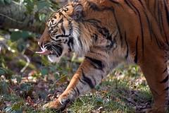 je donne ma langue au gros chat (rondoudou87) Tags: tigre tiger tigré pentax k1 parc park parcdureynou reynou zoo nature natur smcpda300mmf40edifsdm sauvage wildlife wild wildcat profil profile forêt forest tree arbre