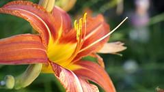 lys orange (laurentmorand) Tags: morand macro lys fleur flower orange pistil nature garden jardin plante printemps parc