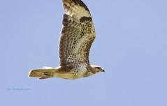 Buzzard (Alan McCluskie) Tags: buzzard buzzardflying buzzardinflight bird birdinflight bif birdofprey bop raptor avian aves oiseaux