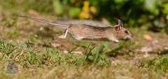 DSC_1585 (gupta.steve) Tags: gelbhalsmaus maus nagetier säugetier nager natur flug tiefflug sprint wildlife animal nikon tamron makro foto photo fotogragie