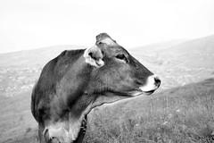 (Roberto Spagnoli) Tags: mucca cow animal biancoenero blackandwhite monocromo mountain fujix100t pasture flies nature profile