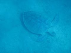 398. Hawksbill Sea Turtle (1000 Wildlife Photo Challenge) Tags: turtle seaturtle hawksbill marinelife sealife redsea egypt