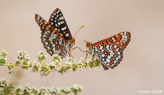 Dueling checkerspots