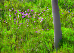 Tree base and purple hillside wildflowers (FotoGrazio) Tags: purple flowers tree colorgreen botany wildgrass grass grasses nature mother green wildgrasses fotograzio wayne grazio waynestevengrazio waynesgrazio scenic spring springtime botanical wildflowers dreamy glowing glow lovely beautiful color colors