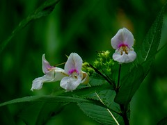 (ste dee) Tags: wildflower plant nature outdoors bokeh whiteflowers panasonic fz72 greenleaves