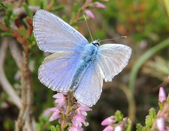 Feeling Blue (Kevin Pendragon) Tags: male mature butterfly wings heathland grassland summer insect blue small outdoors uk outdoor hairy body