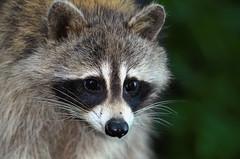 Raton laveur / Raccoon (Robert Dupont) Tags: robertdupont lightzone sigma150500mmf563apodghsmos parcangrignonmontréalqc ratonlaveur racoon