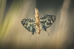 Mirror, mirror... (der_peste (on/off)) Tags: butterfly butterflies insect bokeh dof macro proxy nature schachbrettfalter melanargiagalathea chessboardbutterfly