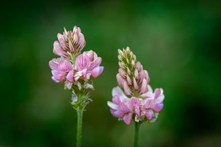 Fränkische Schweiz - Wildblume