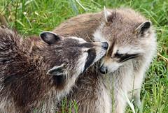 Raccoon Blijdorp JN6A8976 (j.a.kok) Tags: raccoon wasbeer animal blijdorp predator amerika america mammal zoogdier dier