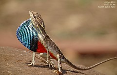 DSC01706 (Prof.Suresh G. Isave) Tags: endangered species chameleon ftl rare indai bio diversity india western ghat
