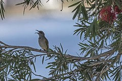 Singing Brown Honeyeater (Geoffsnaps) Tags: brownhoneyeater bird ilovebirds ilovenature feathers birds animals nature beautiful beautyofnature birdsarebeautiful superbbirds nikond810 nikon d810 fx nikonnikkor200500mmf56eedafs nikkor 200500mm f56e e ed afs acratechpanoramichead acratech panoramic head induroct414carbontripod induro ct414 carbon tripod acratechgpballhead gp ballhead lichmeraindistincta singing tuneful musical explored bottle brush