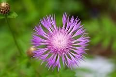 Purple Flower Petals (Read2me) Tags: cye vermont flower petal purple dof thechallengefactorywinner ge challengeclubwinner pregamesweepwinner duele