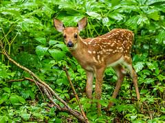 Fawn (ChristineDarnell) Tags: fawn deer babydeer nature animal mammal