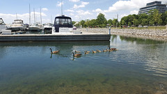 Canada Geese (kaprysnamorela) Tags: canada geese harbourfront park oakville marina water waterbird outdoor floating green building blue sky yacht samsung edge bronte waterfront ontario