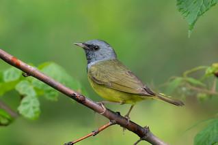 Paruline triste / Mourning Warbler