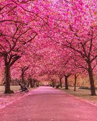 Planter un cerisier du japon (CISSÉO) Tags: fort arbres bois cerisier japon rose