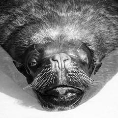 Mr. Big! (m_laRs_k) Tags: bw animal zoo heidelberg germany 7dwf fauna sunday monochrome monotone schwarzweiss noir moustache olympus omd 14150 zooom superzoom
