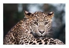 Jeune panthère (Nadège Gascon) Tags: ngphotographe charente canon portrait animalier panthère félin