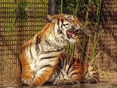 Cita00003 (Rasenche) Tags: animal carnivore cat mammal bigcat annapaulowna stichtingleeuw tiger