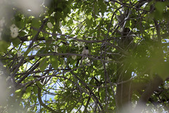 Songbirds & Sunlight Through Trees Pt. I (Miss Marisa Renee) Tags: marisarenee colorado nature green color flowers flower leaves may 2018 may2018 mywork series diptych twoparts tree sunlight sunlightthroughtrees sunny summer branches white bird wildlife animal animals birds songbird bokeh soft softfocus shallowdepthoffield blurry blur framed vignette canon canon5dmarkii 50mm