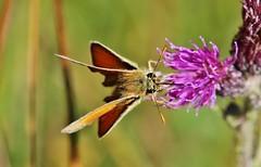 Skipper (Hugo von Schreck) Tags: hugovonschreck butterfly skipper schmetterling insect insekt macro makro canoneos5dsr tamron28300mmf3563divcpzda010