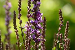 Lavendel im Gegenlicht. (W@llus2010) Tags: lavendel bokeh gegenlicht