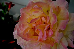 Blumen, Blüten - flowers blossoms, serie, Rose, 76319/10275 (roba66) Tags: rose blumen blume blüten flower blossom roba66 fleur flori flor flora flores bloem plants pflanzen makro macro closeup colour color farbe