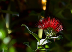 New Zealand Christmas tree (Dreaming of the Sea) Tags: 7dayswithflickr 7dwf tamronsp90mmf2811macro nikond7200 flowers greenleaves bokeh redflower flora cmwdred