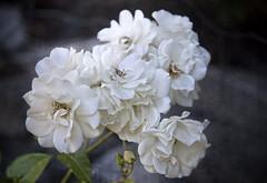 Schneewittchen rose in the garden, Norway (Ingunn Eriksen) Tags: schneewittchenrose rose mygarden flower whiterose whiteflower nikond750 nikon