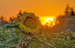 """Zwei Sonnen"" (Claude@Munich) Tags: bavaria upperbavaria flower sunflower helianthusannuus asteraceae helianthus sunset evening claudemunich bayern oberbayern sonnenblume sonnenblumen korbblütler asternartige sonnenuntergang abends abend abandstimmung"