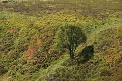 MoorlandTree (Tony Tooth) Tags: nikon d7100 sigma 50500mm tree moors moorland singletree lonetree heather heath upperelkstone staffs staffordshire staffordshiremoorlands countryside