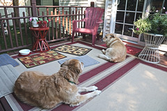 Prancer and Glinda on the Deck (hbickel) Tags: prancer glinda dogs deck looking house canont6i canon photoaday pad