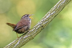 Wren in full song (Happy snappy nature) Tags: wren singing smallbird detail bokeh nature wild wildlife outdoors shropshire nikon200500 nikond500