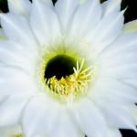 Cactus Flower (Echinopsis) : サボテン(エキノプシス属 短毛丸) thumbnail