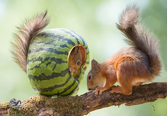 red squirrels on branch in an watermelon (Geert Weggen) Tags: agriculture animal backgrounds closeup colorimage crop cultivated cute dirt environment environmentalconservation environmentaldamage environmentalissues food freshness gardening global greenhouse growth harvesting healthyeating horizontal humor lifestyles mammal nature newlife nopeople organic outdoors photography planetspace planetearth plant pollution red rodent seed socialissues springtime squirrel summer vegetable garden watermelon tree branch geert weggen bispgården jämtland sweden ragunda