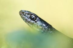 Hierophis viridiflavus - portrait (Gabriele Carabus Motta) Tags: western whip snake reptile biacco frustone lombardia italy nature herping macro